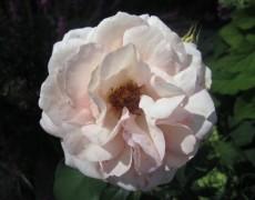 Eine neue Rose