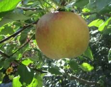 Apfelbaum – Apfeltraum