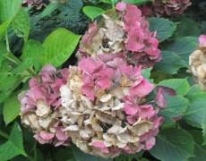 Hortensien in rose