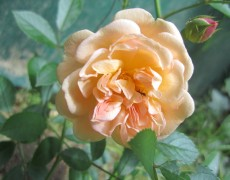 Ghislane de Feligonde – Sie zeigt die erste Blüte!