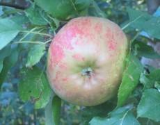 Ran an den Apfelbaum