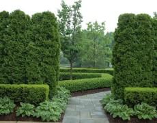 Des Gärtners giftiger Traum: über Thuja in unseren Gärten