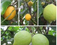 Her mit den Zitronen